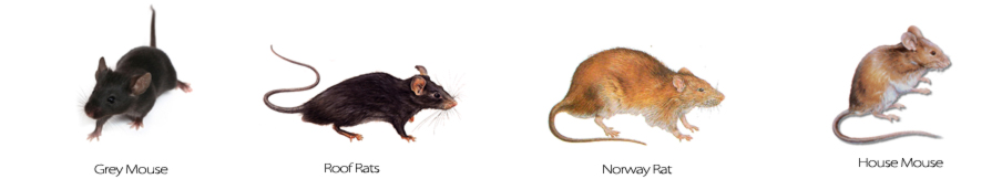 images-types-of-rodents